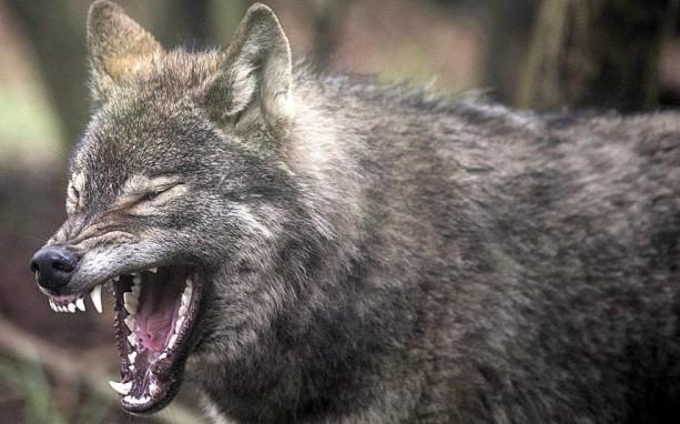 potd-wolf_2852359k